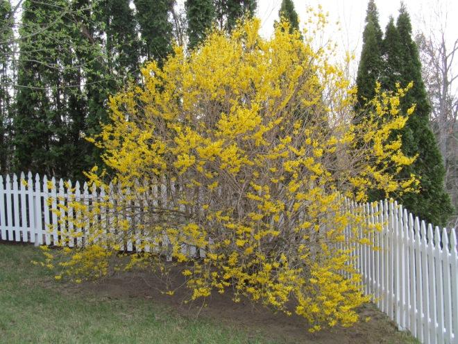 My overgrown forsythia bush.